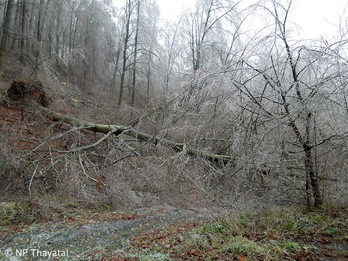 Ständig brechen Äste, entwurzeln sogar ganze Bäume.