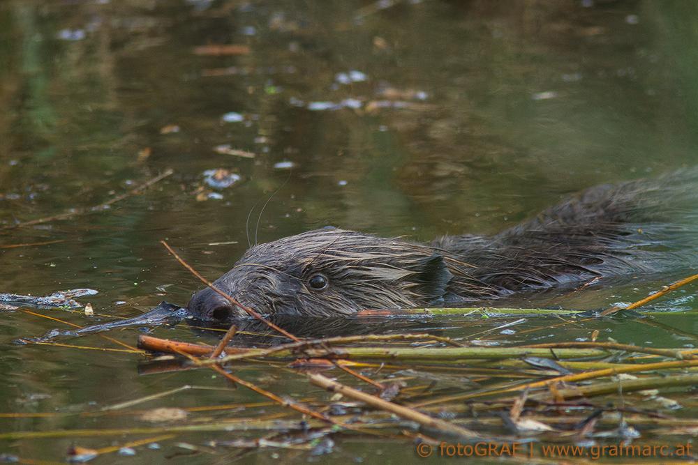 Der Biber ist mittlerweile im Nationalpark Thayatal zu finden. Wie er sich dorthin vorgearbeitet hat, könnt ihr hier nachlesen.