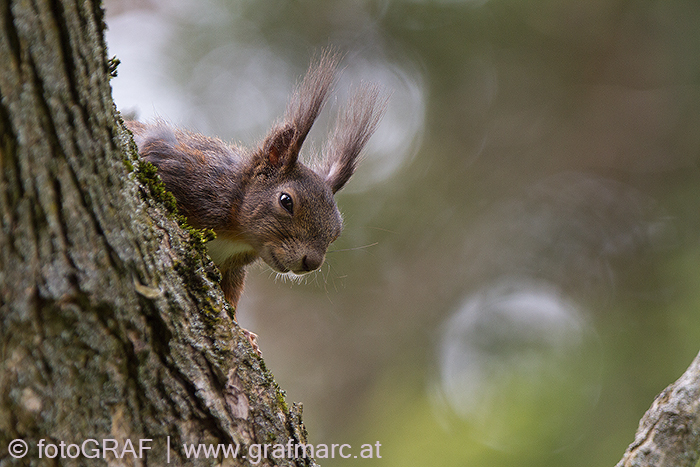 Eichhörnchen halten Winterruhe und erwachen während des Winters relativ häufig.