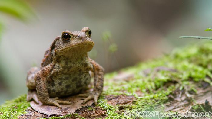 Warzige Haut, relative plumper Körper und kupferfarbene Augen. Das sind die Merkmale der Erdkröte.