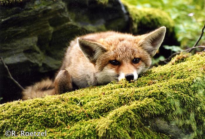 Die ansonsten einzelgängerischen Füchse, finden während der Ranzzeit zueinander.