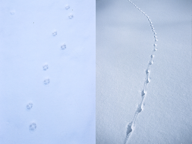"""Links sieht man die Pfotenspuren des Fuchses deutlich. Die beiden äußeren Seitenzehen erreichen die Ballen der Mittelzehen nur im hintersten Teil. Das Bild rechts zeigt die klassisch """"schnürende"""" Gangart des Fuchses."""