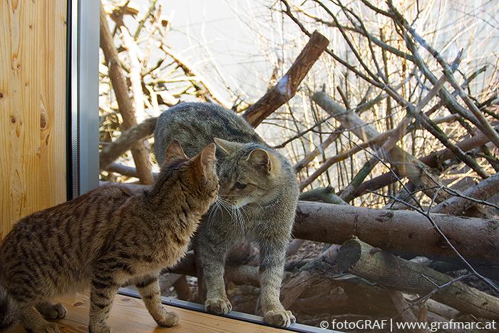 """Wie ähnlich sich getigerte Hauskatze und Wildkatze sehen, kann man an diesem Bild leicht nachvollziehen. Frieda, hinter der Glasscheibe im Wildkatzengehege des NP Thayatal Nationalparkzentrums beäugt interessiert eine junge Hauskatze, die genauso angetan ist von dieser """"Begegnung""""."""