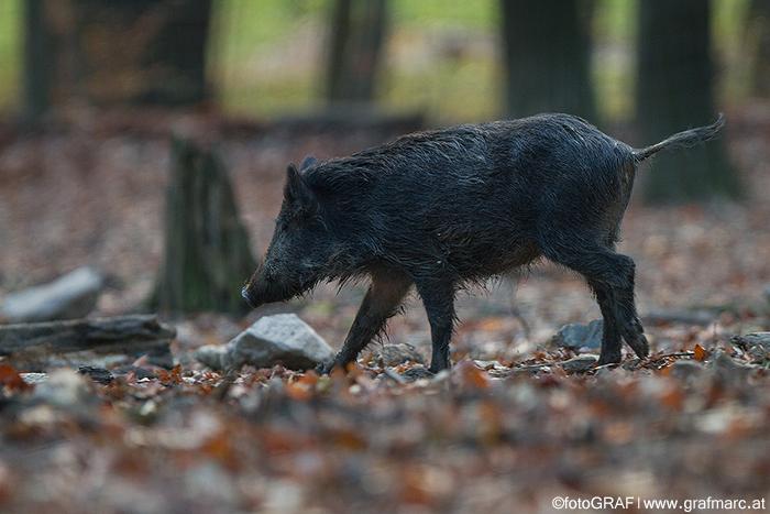 Wildschweine sind Allesfresser, die im Herbst gerne lichte Wälder aufsuchen, um an Pilzen, Eicheln, Bucheckern und Co. zu naschen.
