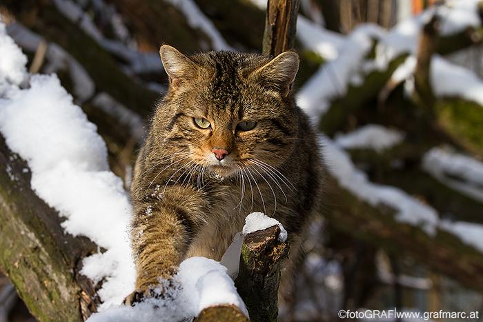 Carlo, eine der beiden Wildkatzen, die im Gehege des Nationalparkhauses leben, macht sich schon mal auf den Weg ;)