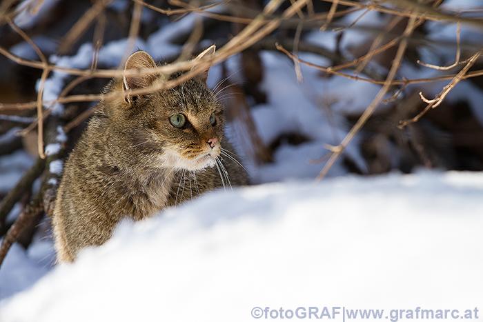 24 sichere Wildkatzen-Nachweise sind aus Österreich bisher bekannt.