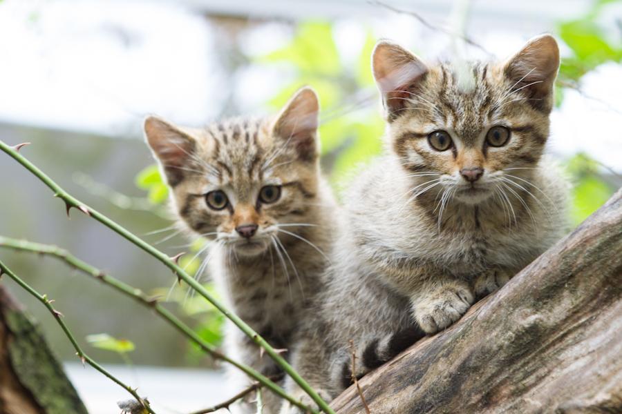 Wildkatzennachwuchs