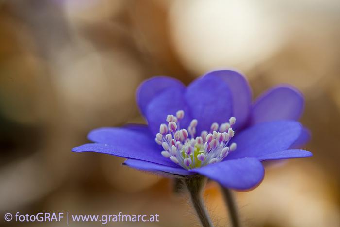 Die Leberblümchen zählen zu den ersten, die im Frühjahr zu blühen beginnen.