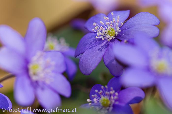 Die Anzahl der Blütenblätter varriert beim Leberblümchen. Es können pro Blüte sechs bis zehn sein!