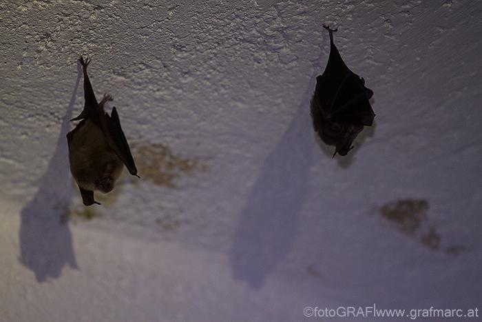 """Diese beiden Kleinen Hufeisennasen """"hängen"""" in der Burgruine Kaia ab. Die Fotos sind allerdings nicht im Winter entstanden - wo wir die Tiere nicht stören wollen - sondern im vergangenen August. Untertags halten sich die Fledermäuse in Quartieren auf, nachts fliegen sie aus."""