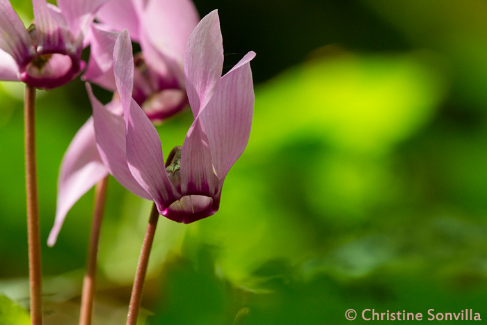 Gut erkennbar ist das Alpenveilchen an seiner markanten Blüte.