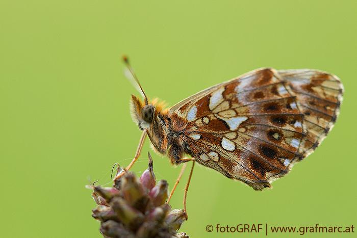 Einige Flecken an der Flügelunterseite schimmern je nach Lichteinfall wie Perlmutt. So kommt der Falter zu seinem Namen.