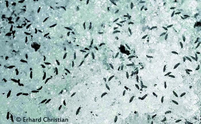 Beim genaueren Hinsehen, lassen sich die winzigen Tierchen erkennen. Eine Massenansammlung von Schneeflöhen
