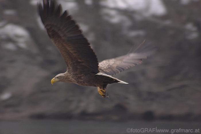 Bei ausgewachsenen Seeadlern lassen sich der massive gelbe Schnabel und die charakteristischen weißen Schwanzfedern gut erkennen.