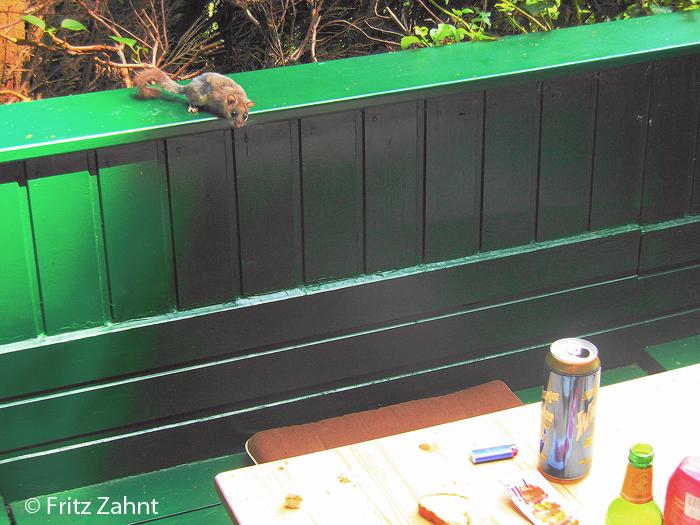 Auf der Terrasse von Hüttenbesitzer Fritz Zahnt im Nationalpark Thayatal gab es letztes Jahr regen Besuch von Siebenschläfern.
