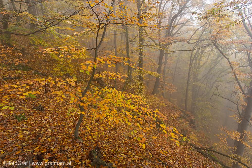 Aucb im Thayatal ziehen im Herbst die Nebel durch die bunten Wälder.