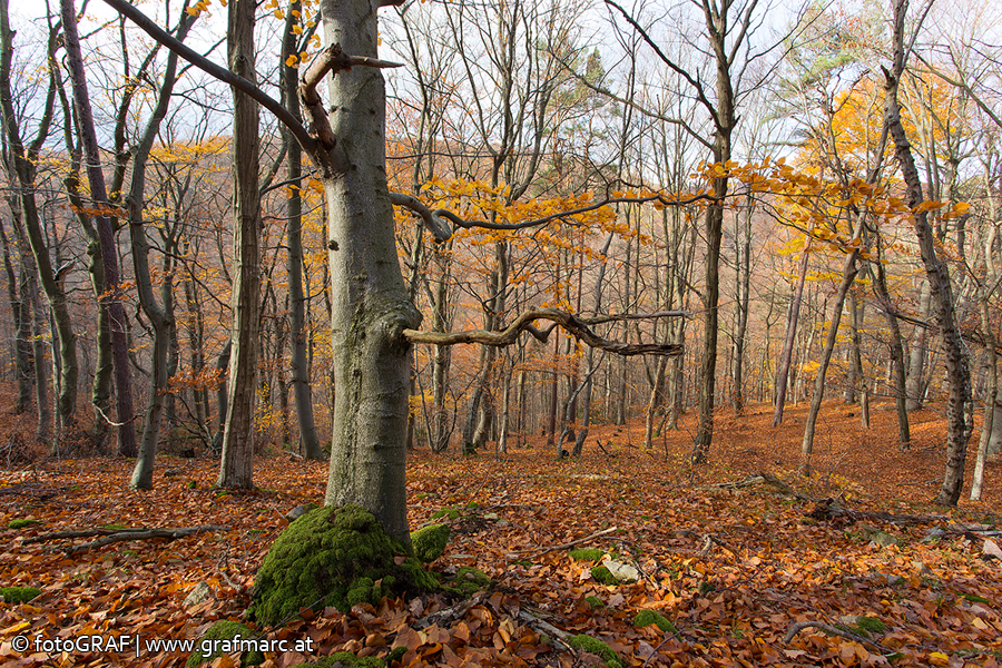 Alle Jahre wieder landen Abertausende Blätter in den Laubwäldern des Nationalparks Thayatal auf dem Waldboden.