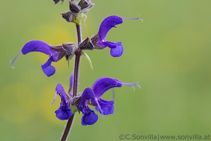 Die Staubbeutel der Blüte befinden sich verborgen in der Oberlippe. Nur der weibliche Teil der Blüte, der Stempel mit der Narbe, ragt hervor. Landet eine Hummel auf der Unterlippe und sucht nach Nektar, klappen die Staubbeutel auf ihren Rücken. Beim nächsten Besuch streift sie den Pollen an der Narbe ab.