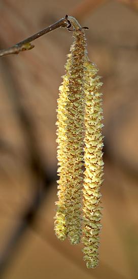 """Die """"Würstel"""" der Hasel sind eigentlich ihre männlichen Blüten. Quelle: Wikimedia Commons, Urheber: André Karwath"""