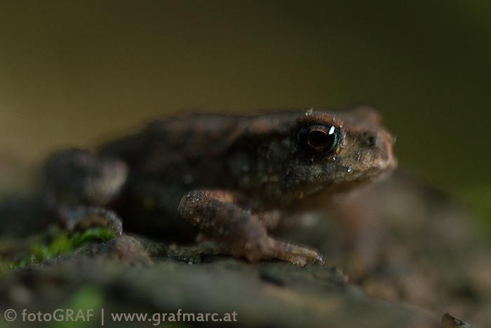 Eine junge Erdkröte hat heuer ihre erste große Überwinterungs-Bewährungsprobe.